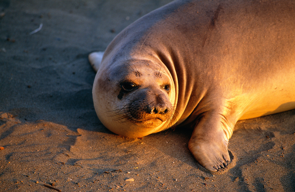 Elephant Seal resting on sand
