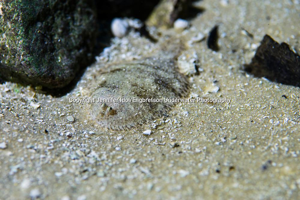 Hogchoker<br /> <br /> Jennifer Idol/Engbretson Underwater Photography