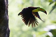 Keel-billed Toucan (Ramphastos sulfuratus) in flight, Honduras