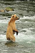Brown Bear In Katmai National Park at Brooks Falls