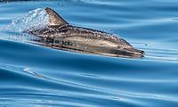 Common Long-beaked dolphins in the Gulf of California near Loreto, Baja California Sur, Mexico.