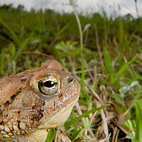 The American toad (Bufo americanus) is a fairly drought-tolerant species, which will often bury itself during the heat of the day to avoid dehydration.  Its reddish coloration blends in perfectly with the red southern clay.