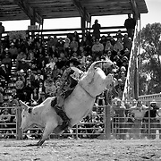 A bull rider looks to score points as a judge and the crowd watch closely.<br /> Augusta Rodeo 2011.