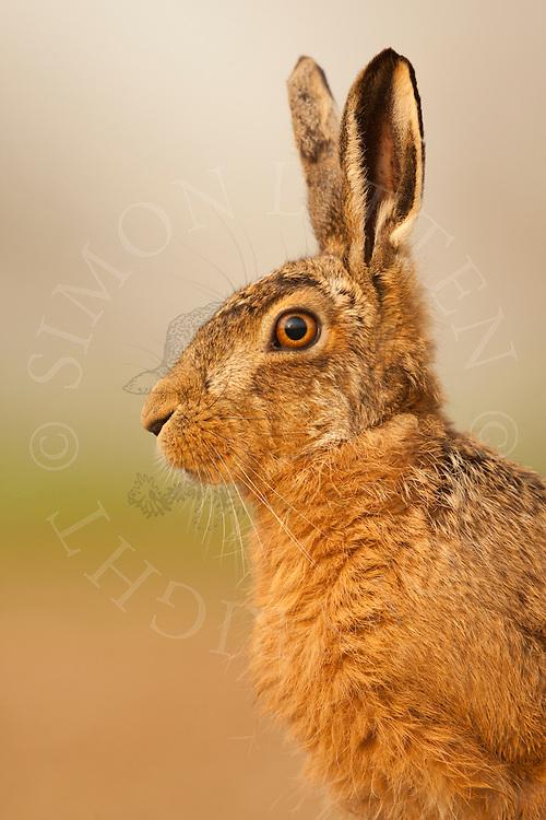 European Hare (Lepus europaeus) adult alert, head detail, Norfolk, UK.