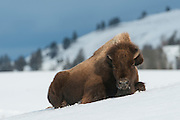 A bison cow (Bison bison) rests in the snowy landscape of Yellowstone National Park, Wyoming