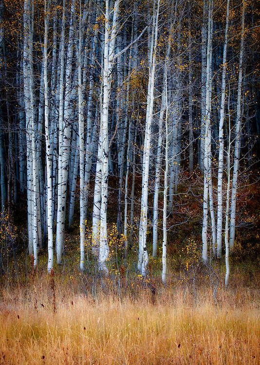 Aspens on Kebler Pass. Gunnison National Forest, Colorado.