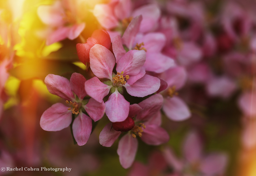&quot;Let the Sun Shine In&quot;<br /> <br /> Stunning pink crab-apple blossoms bathed in sunlight!
