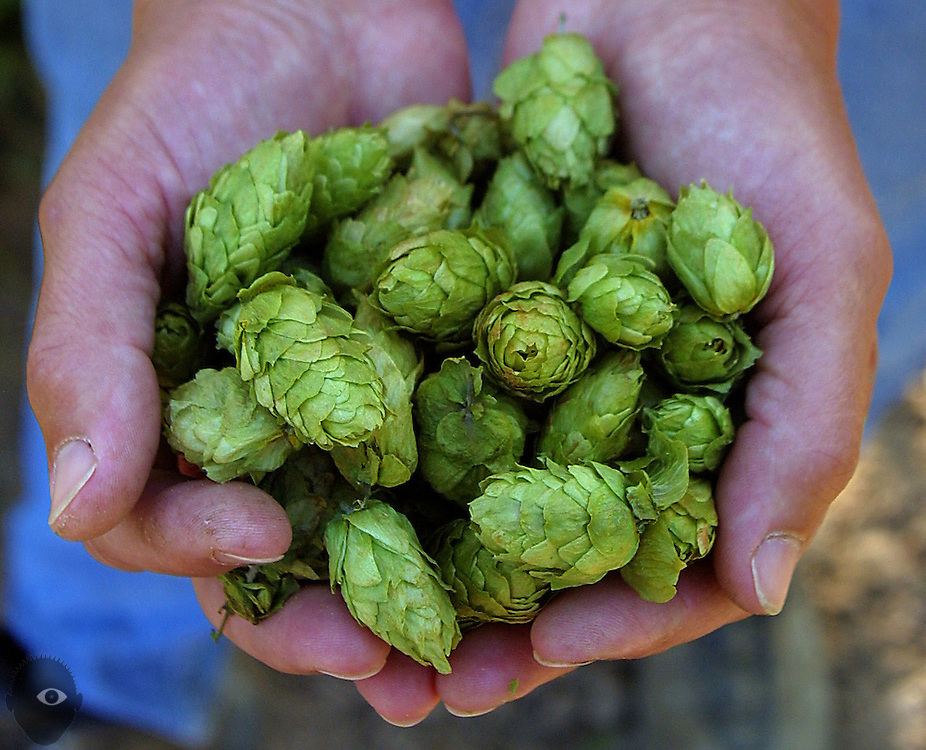 Gayle Goschie with a handful of Willamette hops grown by  her family for three generations on a farm near Silverton.