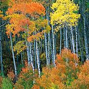 aspen trees, McClure Pass, Colorado