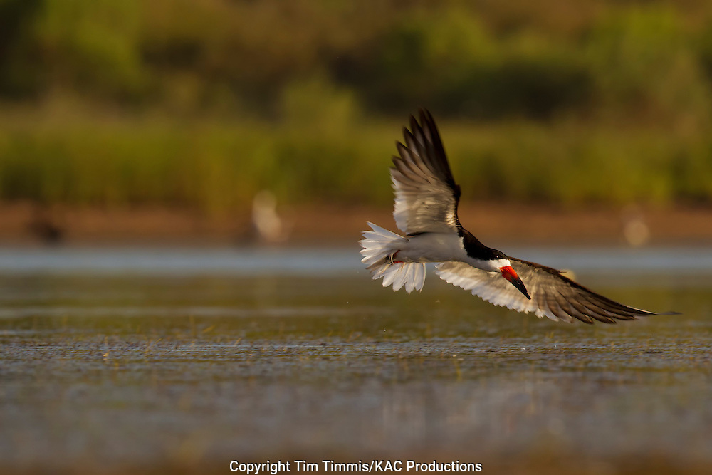 Black Skimmer, Rynchops niger, Bryan Beach, Texas gulf coast, flying over water, banking