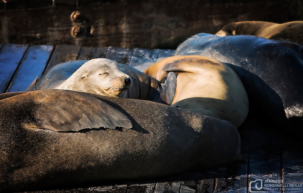 California seals sunbathe on Pier 39 at Fisherman's Wharf in San Francisco, CA. Photo by Jennifer Rondinelli Reilly.