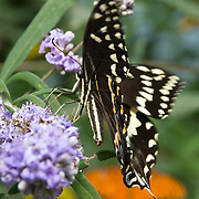 Eastern Black Swallowtail Butterfly, Papilio polyxenes (order Lepidoptera, suborder Macrolepidoptera, superfamily Papilionoidea, family Papilionidae or swallowtail butterflies). There are at least 550 species, and though the majority are tropical, members of the family are found on all continents except Antarctica. Swallowtails differ from all other butterflies in a number of anatomical traits. The adults are often tailed like the forked tail of some swallows, giving the insect its name. Most notably, their caterpillars possess a unique organ behind their heads, called the osmeterium. Normally hidden, this forked structure can be everted when the caterpillar is threatened, and emits smelly secretions containing terpenes. Photographed in the Woodland Park Zoo, Seattle, Washington.