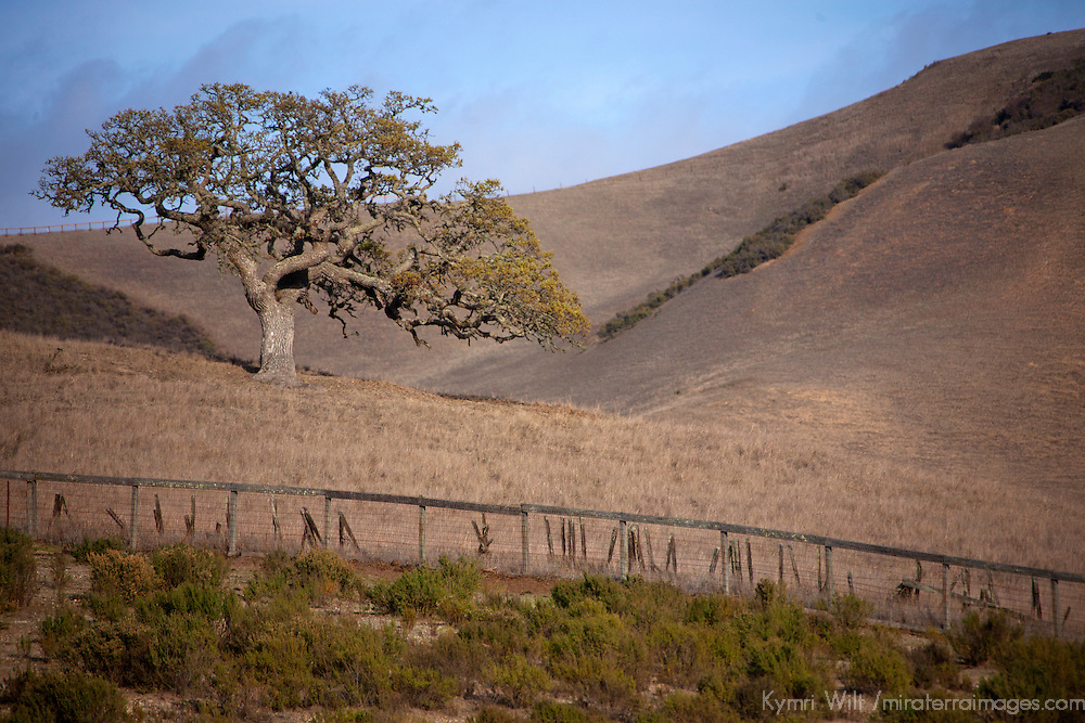 USA, California, Carmel Valley. Coast Live Oak Tree.