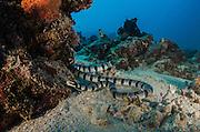 Black-banded sea krait (Laticauda semifasciata)<br /> Cenderawasih Bay<br /> West Papua<br /> Indonesia