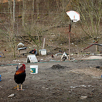 Larry Owens' rooster in Wild Cat, Ky., on 3/19/10. Photos by David Stephenson