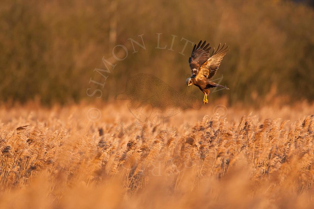 Marsh Harrier (Circus aeruginosus) adult female hunting over reedbed, Norfolk, UK.