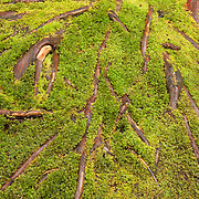 Thick moss grows to cover the exposed roots of a Western red cedar (Thuja plicata) tree in the moss garden of the Bloedel Reserve on Bainbridge Island, Washington. The reserve's extensive moss garden is home to at least a dozen different species of moss.