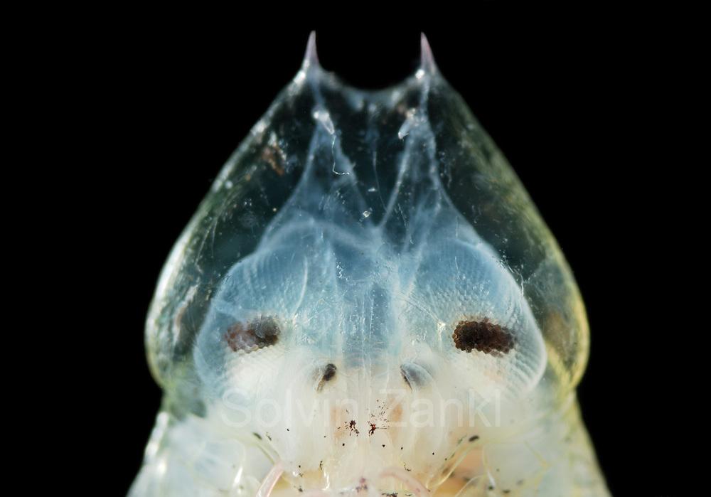 Amphipod (Primno macropa) | Deep Sea plankton | Flohkrebs Tiefsee Plankton | Primno macropa ist ein ca. 3 cm großer, pelagisch (im freien Wasser) lebender Krebs, der oft von tauchenden Lummensturmvögeln (Pelecanoididae) erbeutet wird.