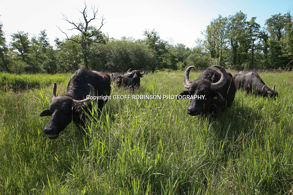 PIC SHOWS WATER BUFFALO TRYING TO COOL DOWN IN CHIPPENHAM FEN,CAMBS,ON MONDAY MORNING JUNE 27 2011.IT WAS WARMER IN THE UK THAN THEIR NATURAL HOME IN INDIA... It make look like a scene from the plains of India, but in fact this herd of Asian WATER BUFFALO are roaming in the heart of the ENGLISH countryside...The magnificent beasts were seen cooling down today (Mon) in the ponds and water-filled ditches at Chippenham Fen, just 10 miles from the busy city of Ely, Cambs...As temperatures soared past 90 C, the buffalo spent their time swimming and wading in the water at the national nature reserve, where it was HOTTER than their native India...The animals have been released on the 40 acres of fenlands to help maintain the environmentally-sensitive wetland...Their grazing and powerful horns help to keep the vegetation and scrub under control, allowing many species of insects and wild flowers, including rare orchids, to thrive...SEE COPY CATCHLINE Water buffalo cool down in UK