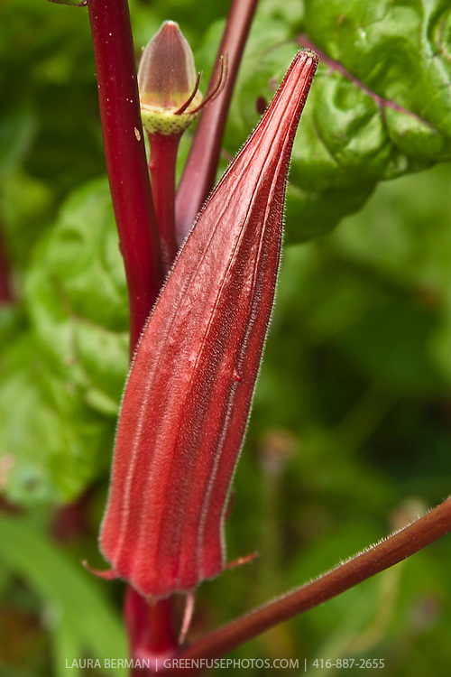 Aunt Heddies Red okra (Abelmoschus esculentus 'Aunt Heddies Red').