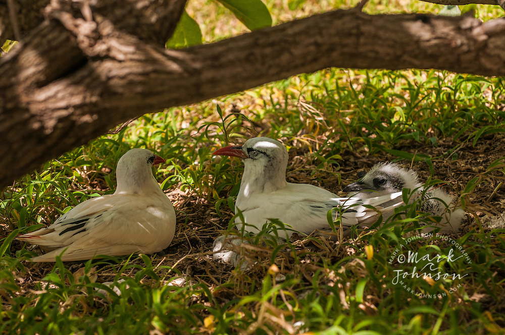 Red-tailed tropicbirds with chick, Lady Elliot Island, Great Barrier Reef, Queensland, Australia