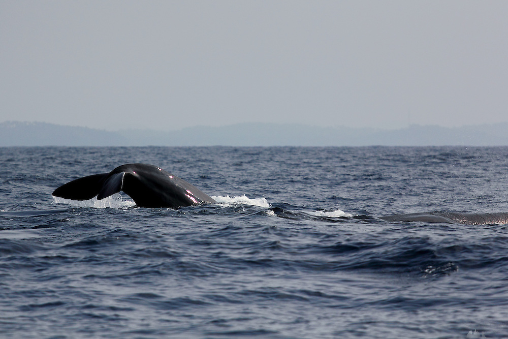 A sperm whale dives into the depths of the Indian Ocean off the coast of Sri lanka, near Mirissa