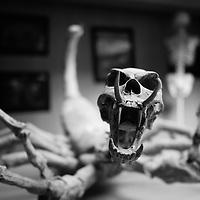 Jurassic Dinosaurian: Osteological Duplication
