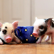 'MICRO PIG' FROM THE LITTLE PIG FARM IN CAMBRIDGESHIRE...