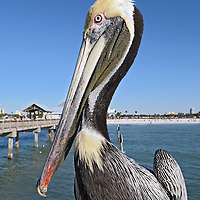 Portrait of a pelican in Clearwater Beach, FL on January 31, 2009.