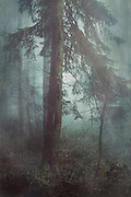 Moody misty forest scenery with a fir tree - textured photograph<br />
