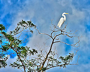 This egret was atop the world perched against the blue sky