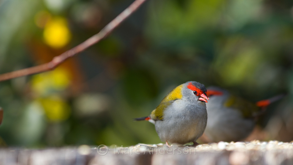 Red Browed Firetail (Neochmia temporalis), NSW, Australia