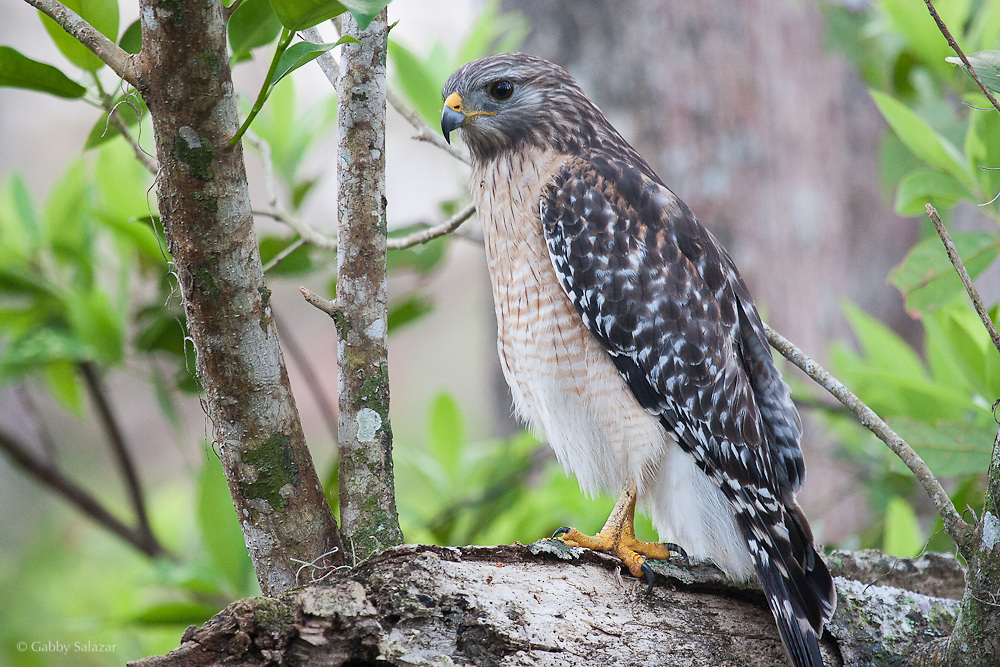 Red-shouldered hawk (Buteo lineatus). Corkscrew Swamp Sanctuary, National Audubon Society, Naples, Florida.
