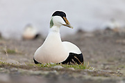 The eider duck (Somateria mollissima) has six widely recognised subspecies with the Svalbard population belonging to the sub-species S. m. borealis.<br />