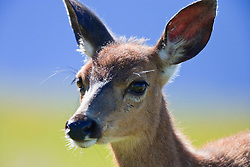 Black-Tail Deer fawn (Odocoileus hemionus columbianus) on Hurricane Ridge - Olympic National Park, Washington, USA