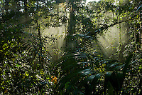 Early morning light in the rain forest of Halmahera Island, Indonesia.<br /> <br /> Alfred Russel Wallace was doing fieldwork in Halmahera when he wrote his famous letter on his theory of Natural Selection which he sent to Darwin from Ternate.