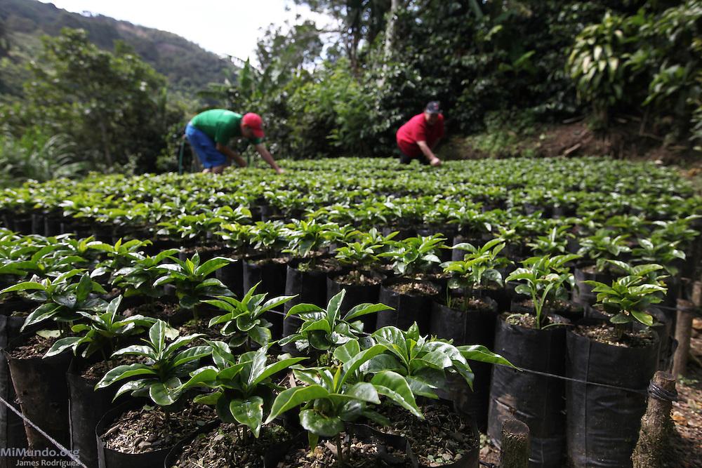 Carmen Rodríguez (right) and her son Marco Hernández Rodríguez, members of COOPEDOTA, tend their young coffee plants. COOPEDOTA, Santa María de Dota, San José, Costa Rica. September 7, 2012.
