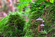 A trio of mushrooms growing on a mossy, rotting stump at Campbell Valley Park in Langley, British Columbia, Canada