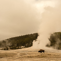 A bison wanders past Old Faithful on a chilly spring afternoon in Yellowstone National Park