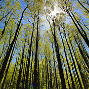 &quot;A Shining Star&quot;<br /> <br /> Beautiful sunshine through tall trees in the forests of the Blue Ridge Mountains of Virginia!!<br /> The Blue Ridge Mountains by Rachel Cohen