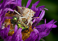 Live fast, die young. A female Metallic  Green Bee (Augochloropsis metallica) becomes a liquid lunch for an Ambush Bug (Phymata sp.). Notice how the Ambush Bug is holding the bee with its raptorial front legs, which are similar to a Praying Mantis' forelimbs.