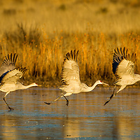 USA, New Mexico, Bosque del Apache National Wildlife Refuge, Three Sandhill Cranes (Grus canadensis) run while taking off from frozen lake in Rio Grande Valley on winter morning