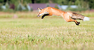 NEWS&GUIDE PHOTO / BRADLY J. BONER.A red fox makes a leap in hopes of catching dinner while prowling the Hardeman Field near Wilson on Monday evening.
