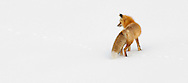 The red fox can hear small prey animals digging underground and will frequently dig or dive into the snow to catch them. When stalking its prey, the fox gets as close as it can and then pounces upon the unsuspecting animal hidden under the snow.