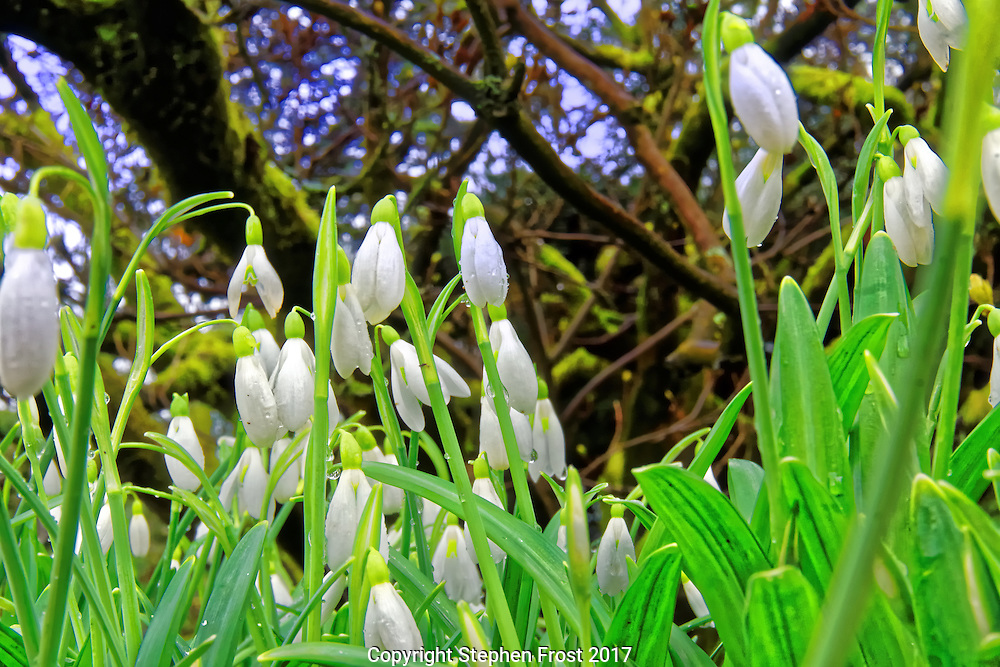 Snowdrops in early spring in an English woodland.