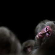 A female Japanese macaque (Macaca fuscata) basking in some sunlight while being groomed against a black background.