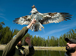 PRICE CHAMBERS / NEWS&GUIDE.Ross Crandall raises the captured osprey to let him spread his wings so the satellite transmitter strapped to his back will settle in and provide a better fit.