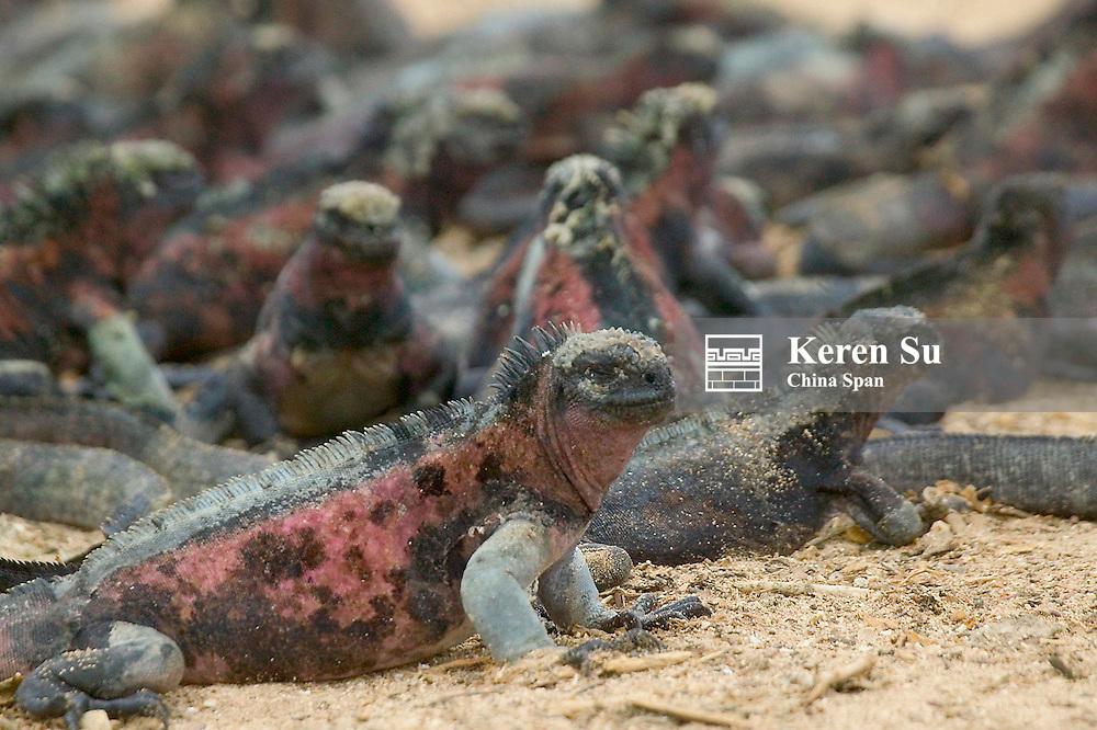 Marine iguanas on Galapagos Islands, Equador
