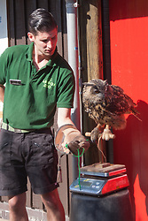 ZSL London, August 21st 2014. Nathan Coles weighs a Eurasian eagle owl named Max as ZSL London holds its annual animal weigh and measure day to update their databases.