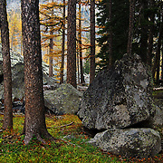 Englemann spruce and alpine larch in fall. Northwest Peak Scenic Area in the Purcell Mountains, Montana